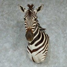 African Zebra Wall Pedestal Taxidermy Mount #13259 For Sale @ The Taxidermy Store