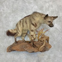 African Aardwolf Mount For Sale #21524 @ The Taxidermy Store