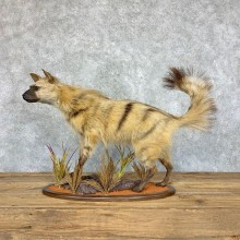 African Aardwolf Mount For Sale #21755 @ The Taxidermy Store