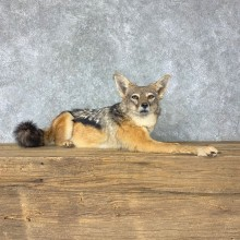 African Black-backed Jackal Life-Size Taxidermy Mount #22773 For Sale @ The Taxidermy Store