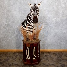 African Burchell's Zebra Pedestal Mount For Sale #18603 @ The Taxidermy Store