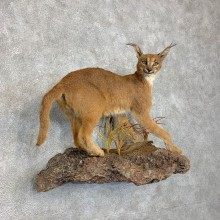 African Caracal Cat Life-Size Mount For Sale #21473 @ The Taxidermy Store