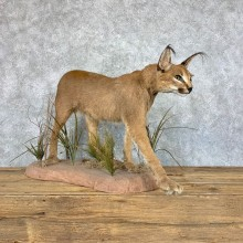African Caracal Cat Life-Size Mount For Sale #22858 @ The Taxidermy Store