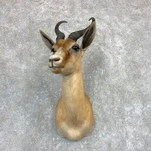 African Copper Springbok Taxidermy Shoulder Mount #22092 - The Taxidermy Store