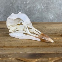African Crowned Crane Skull For Sale
