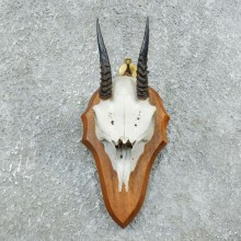 African Dik Dik Skull Mount For Sale #18387 @ The Taxidermy Store