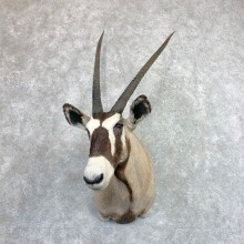 African Gemsbok Shoulder Mount For Sale #22871 @ The Taxidermy Store
