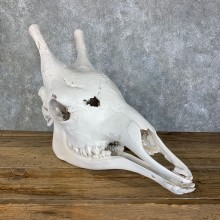 African Giraffe Full Skull Taxidermy Mount For Sale