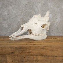 African Giraffe Skull For Sale #20633 @ The Taxidermy Store