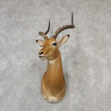 African Impala Shoulder Mount #19104 For Sale @ The Taxidermy Store