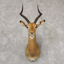 African Impala Shoulder Mount For Sale #18825 @The Taxidermy Store
