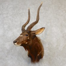 African Nyala Taxidermy Shoulder Mount #19089 For Sale @ The Taxidermy Store