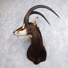 African Sable Taxidermy Shoulder Mount For Sale