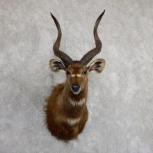 African Sitatunga Shoulder Mount #19632 For Sale @ The Taxidermy Store