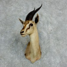 African Thomson's Gazelle Shoulder #18058 - For Sale @ The Taxidermy Store