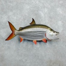 African Tiger Fish Taxidermy Mount #18275 For Sale @ The Taxidermy Store
