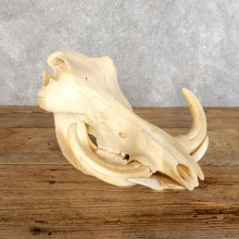 Warthog Skull & Tusks Taxidermy Mount For Sale