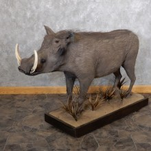 African Warthog Life-size Taxidermy Mount For Sale