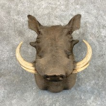 African Warthog Shoulder Mount For Sale #22813 @ The Taxidermy Store