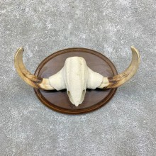 African Warthog Tusk Display For Sale #22864 @ The Taxidermy Store