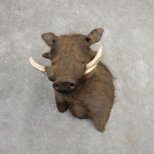 African Warthog Wall Pedestal Mount For Sale #21149 @ The Taxidermy Store