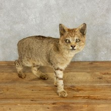 African Wildcat Taxidermy Mount For Sale #17659 @ The Taxidermy Store