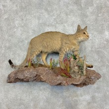 African Wildcat Taxidermy Mount For Sale #21471 @ The Taxidermy Store