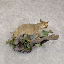 African Wildcat Life Size Taxidermy Mount For Sale