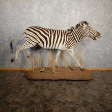 African Zebra Life Size Taxidermy Mount #20214 For Sale @ The Taxidermy Store
