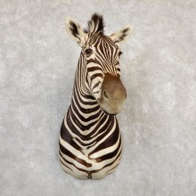 African Zebra Shoulder Mount For Sale #20270 @ The Taxidermy Store