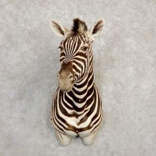 African Zebra Shoulder Mount For Sale #20298 @ The Taxidermy Store