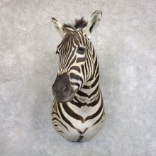 African Zebra Shoulder Mount For Sale #22233 @ The Taxidermy Store