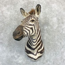 African Zebra Shoulder Mount For Sale #22381 @ The Taxidermy Store