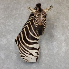 African Zebra Wall Pedestal Mount For Sale #19311 @ The Taxidermy Store
