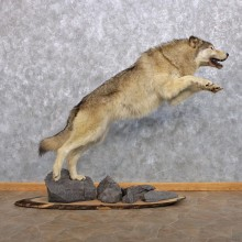 Grey Wolf Taxidermy Mount #10285 For Sale @ The Taxidermy Store