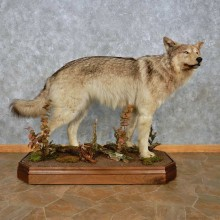 Alaskan Gray Wolf Life-Size Mount For Sale #15029 @ The Taxidermy Store