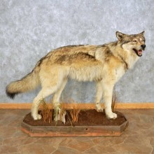 Alaskan Gray Wolf Life-Size Mount For Sale #15030 @ The Taxidermy Store