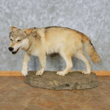 Alaskan Gray Wolf Life-Size Mount For Sale #15031 @ The Taxidermy Store