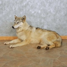 Alaskan Gray Wolf Mount For Sale #15105 @ The Taxidermy Store