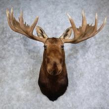 Alaskan Yukon Moose Shoulder Mount For Sale #15927 @ The Taxidermy Store