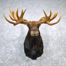 Alaskan Moose Shoulder Taxidermy Head Mount #12666 For Sale @ The Taxidermy Store