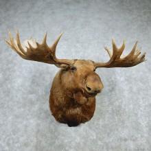"Giant Alaskan Moose Shoulder - Outside Spread 65.5"""