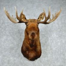 """Alaskan Moose Shoulder Mount - Outside Spread 57 5/8"""""""