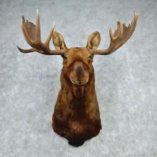 """Alaskan Moose Shoulder Mount - Outside Spread 53"""""""