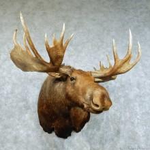 """Alaskan Moose Shoulder Mount - Outside Spread 54 3/8"""""""
