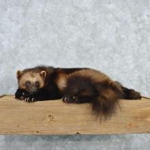 Laying Alaskan Wolverine
