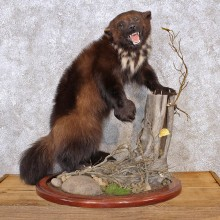 Alaskan Wolverine Standing Taxidermy Mount #12288 For Sale @ The Taxidermy Store
