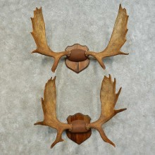 Moose Taxidermy Antler Plaque Pair For Sale