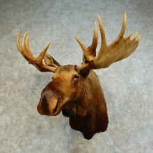 Western Canada Moose Taxidermy Shoulder Mount For Sale