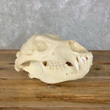 Alaskan Brown Bear Full Skull Mount For Sale #22708 @ The Taxidermy Store